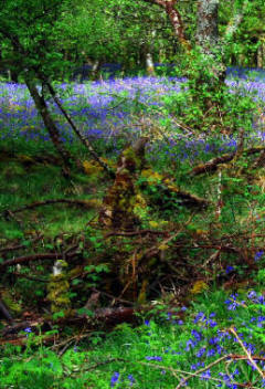 Bluebells in woods at Gruline
